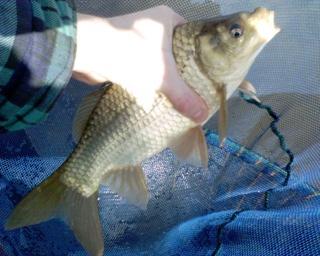 2006-04-06-Common Carp