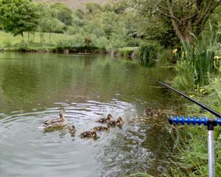2006-05-24-Ducklings