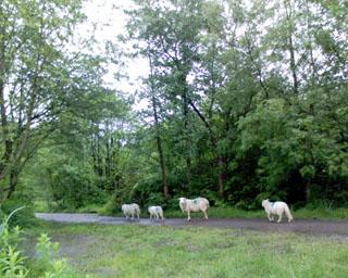 2006-05-24-Sheep