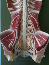Model of the back and lumbosacral plexus