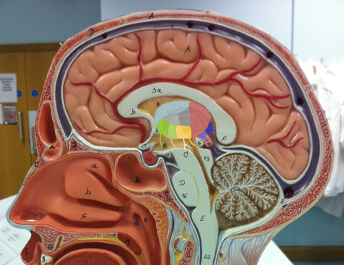 A mid-sagittal section of the head with the thalamus painted on.