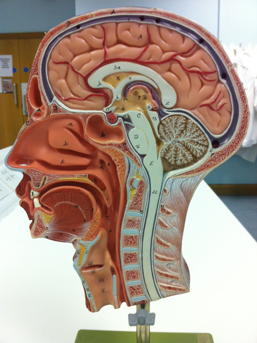 Mid-Sagittal Head Model