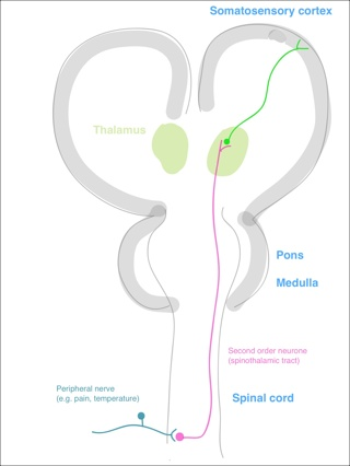Spinothalamic Tract