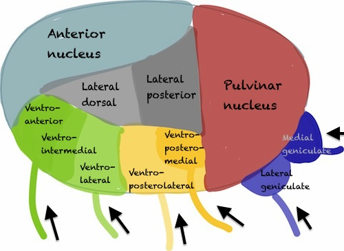 The nuclei of the thalamus (most of them)