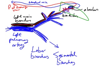 Week 219 Lung Circulation Scribbles