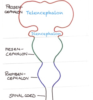 Neuroembryology - the cephalic end of the early neural tube.