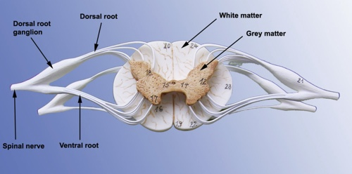 Spinal Nerves And Cord