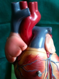 Aorta and pulmonary trunk